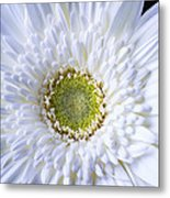 White Daisy Close Up Metal Print