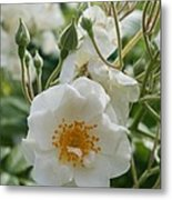 White Dog Rose And Buds Metal Print