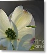 White Dogwood Blooms Series Photo K Metal Print