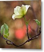 White Dogwood In Early Spring Metal Print