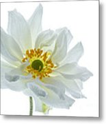 White Double Japanese Anemone Metal Print