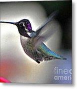 White Eared Male Costa's Hummingbird Metal Print
