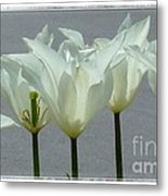 White Early Dawn Tulips White Bordered Metal Print