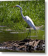 White Egret And Snapping Turtles Metal Print