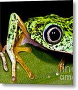 White-eyed Leaf Frog Metal Print