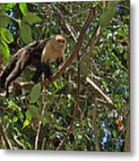 White-faced Capuchin Monkey In Manuel Antonio National Preserve-costa Rica Metal Print