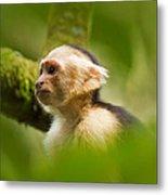White Faced Capuchin Monkey Portrait Metal Print