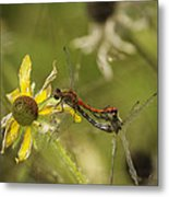 White-faced Meadowhawks Mating Metal Print