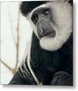 White Faced Monkey Metal Print