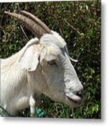 White Goat On A Farm Metal Print