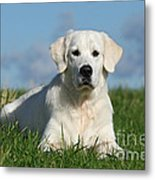 White Golden Retriever Dog Lying In Grass Metal Print by Dog Photos