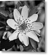 White Hepatica Metal Print