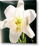 Easter Lily Up Close, Bermuda Metal Print