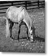 White Horse In A Pasture Among Daisy Flowers Metal Print
