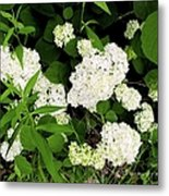 White Hydrangia Beauty Metal Print