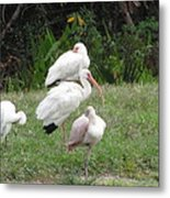 White Ibis Bliss Metal Print