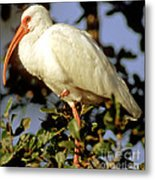White Ibis Eudocimus Albus Metal Print