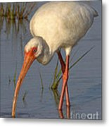 White Ibis In Grass Metal Print