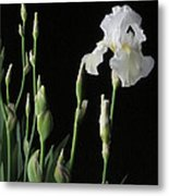 White Iris In Black Of Night Metal Print