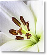White Lily Close Up Metal Print by Garry Gay