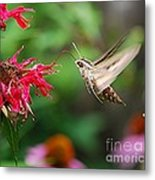 White-lined Sphinx Humming Bird Moth Metal Print