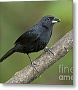White-lined Tanager Metal Print