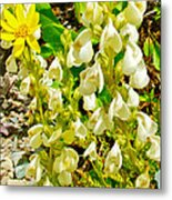 White Locoweed On Highline Trail In Glacier National Park-montana Metal Print