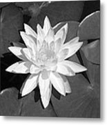 White Lotus 2 Metal Print