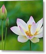White Lotus Flower And Buds Metal Print