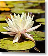 White Lotus Flower In Lily Pond Metal Print by Susan Schmitz