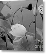 White Lotus Flowers In Balboa Park San Diego Metal Print