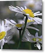 White Marguerite Metal Print