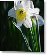 White Narcissus Metal Print