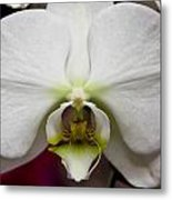 White Orchid Close Metal Print by Timothy Blair