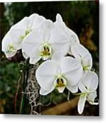 White Orchids 2 Metal Print by Timothy Blair