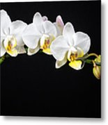 White Orchids Metal Print by Adam Romanowicz