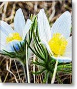 White Pasque Flower Metal Print