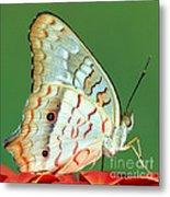 White Peacock Butterfly Anartia Metal Print
