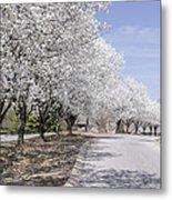 White Pear Trees Casting Shadows Metal Print
