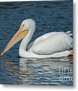 White Pelican Swimming Metal Print