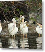 White Pelicans Grooming Metal Print