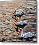 White Pelicans  In Golden Water Metal Print