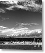 White Pelicans On Island In The Everglades Metal Print
