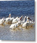 White Pelicans On Sanibel Island Metal Print