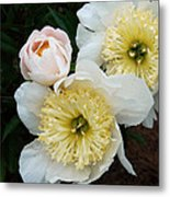 White Peony Flowers Series 2 Metal Print