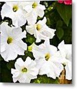 White Petunias Metal Print