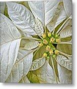 White Poinsettia Metal Print
