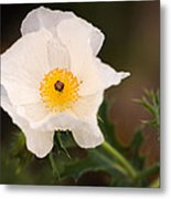White Prickly Poppy Metal Print by Thomas Pettengill