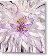 White Purple Dahlia Metal Print