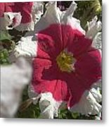 White-red Petunia Metal Print